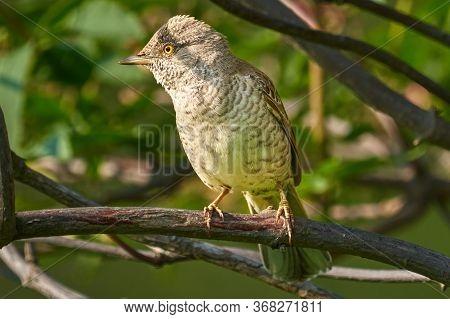 Bird - Barred Warbler ( Sylvia Nisoria ) Sitting On A Branch Of A Bush Sunny Summer Morning. Close-u