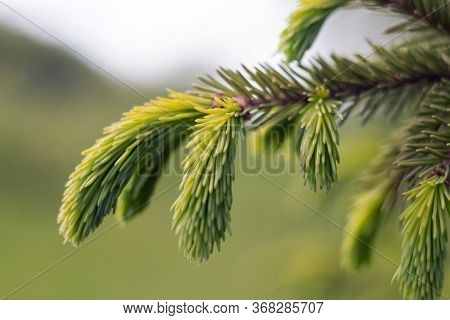 Spruce Branch. Beautiful Spruce Branch With Needles. Christmas Tree In Nature. Spruce Close-up. Natu