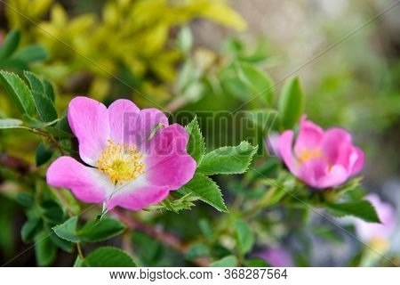 Close-up Image Of The Beautiful Spring Flowering, Pink, Rosa Canina Also Known As The Dog Rose. Flor