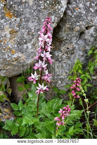 Pink Flowers Of Wild Plant Diptam (dictamnus Albus) Or Burning Bush, Or Fraxinella, Or Dittany. Enda