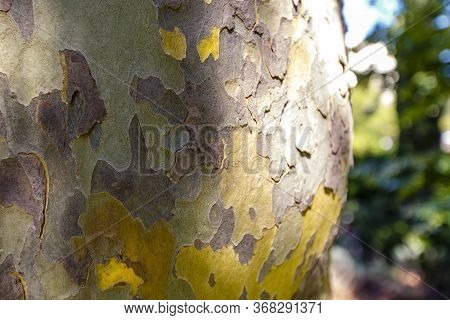 The Trunk Of A Sycamore Tree With Exfoliating Bark.