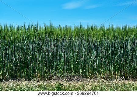 Fresh Green Cereal Field With Blue Sky In Spring Sunshine. Barley Grain Is Used For Flour, Barley Br