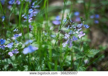 Tiny Purple Wildflowers Floral Bokeh. Soft, Low Shallow Focus. Veronica Persica - Birdeye Speedwell,