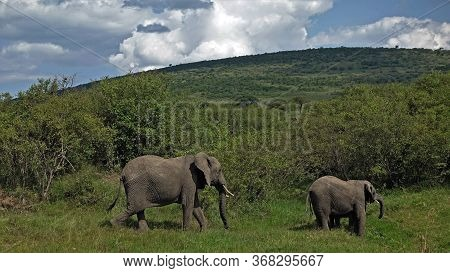 Elephants Walk In The National Park. A Family Of Elephants Grazes In The Hills Of The Savannah. Arou