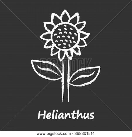 Helianthus Chalk Icon. Sunflower Head With Name Inscription. Field Blooming Flower. Agriculture Symb