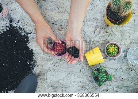 Woman's Hands Transplanting Cactus Into A New Pink Pot On The Wooden Table. The Process Of Transplan