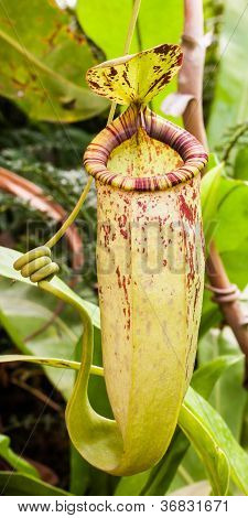 Nepenthes.