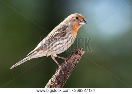 Orange Variant House Finch Perched In A Tree