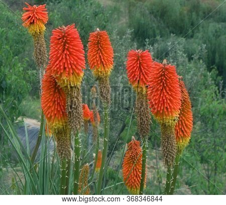 Known As Torch Lily, Or Red Hot Poker, Due To The Shape And Color Of Its Inflorescence.the Leaves Ar