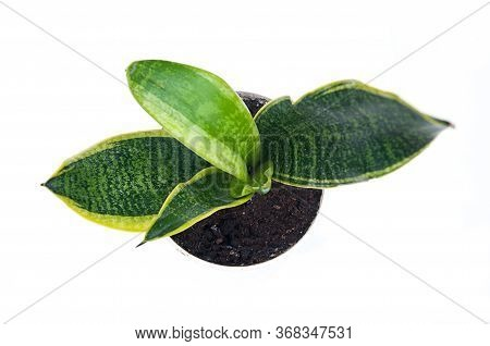 Top Down View Of Potted Snake Plant Dracaena Trifasciata Isolated On A Light Background.  Taken From