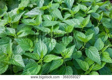 Stinging Nettles (urtica Dioica) In The Garden. Green Leaves With Serrated Edges.