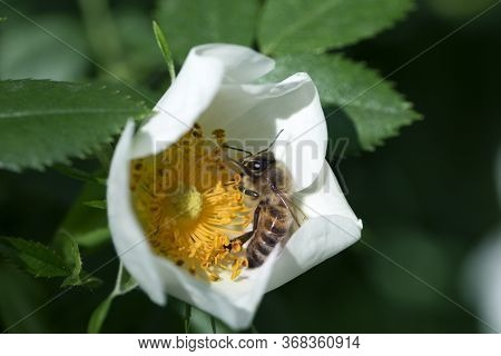 Bee On A White Flower Of  Dog Rose