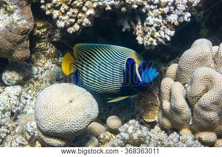 Emperor Angelfish (pomacanthus Imperator) In Red Sea, Egypt. Beautiful Tropical Fish With Colorful D