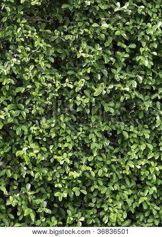 Carmona Retusa (vahl) Masam Plant