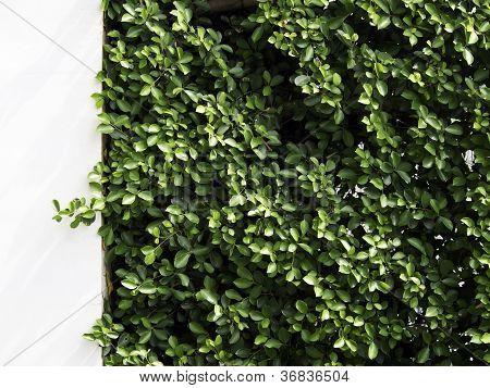 Pattern Carmona Retusa (vahl) Masam Plant, Decorative On A White Wall