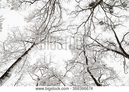 Winter Leafless Trees. Winter Forest. Tree Branches Covered With Snow Against The Sky.