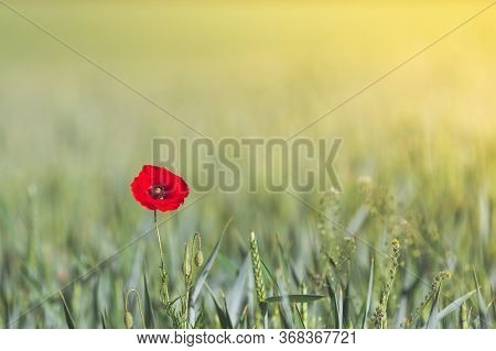 A Lone, Red Wild Poppy Isolated Against A Field Of Wheat At Sunset With Copy Space