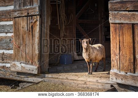 Vernon, British Columbia/canada - June 2, 2018: A Sheep Stands At An Open Barn Door At O'keefe Ranch