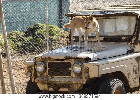 A Dingo Standing On An Old Car In Its Compound In A Wildlife Park In Australia.