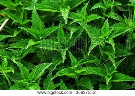 Urtica Dioica Or Nettle In Garden. Stinging Nettle, Medicinal Plant Used As Bleeding, Diuretic, Anti
