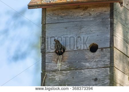 Nestbox On A Tree. Mom Or Dad Bird Flew Into The Nestbox To Feed Their Chicks. A Bird's Tail Protrud