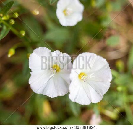 White Flowers In The Field. Calystegia Sepium (hedge Bindweed, Rutland Beauty, Bugle Vine, Heavenly