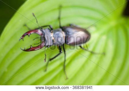 Male Stag Beetle (lucanus Cervus) On The Green Hosta Leaf. Close-up.