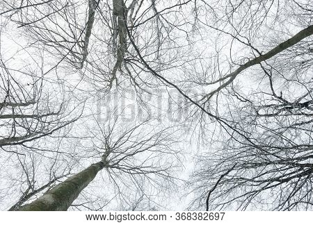 Winter Leafless Trees. Winter Forest. Tree Trunk And Tree Branches Covered With Snow Against The Sky