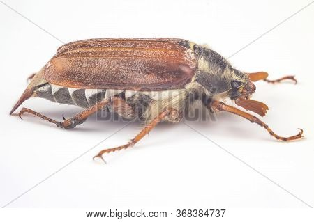 Insect Cockchafer On A White Background. Insects And Zoology