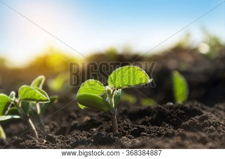 Small Sprouts Of A Soybean Plant Grow In Rows On An Agricultural Field. Young Soy Crops During The P