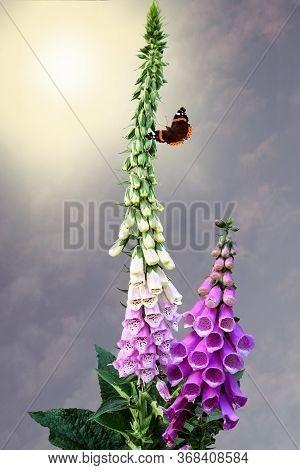 Pink Purple Common Foxglove Digitalis Purpurea Fairy Fingers With Butterfly In Summer Cottage Garden