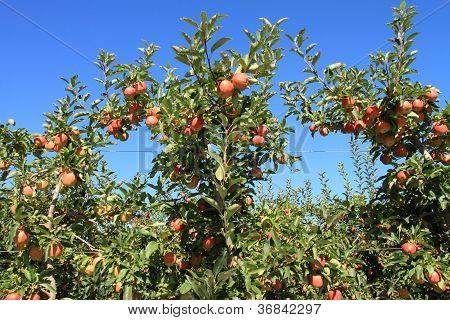 Apple Orchard 08