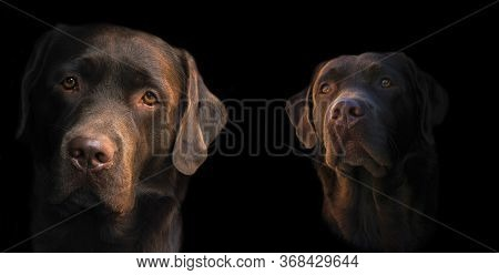 Face Portrait Of Brown Chocolate Labrador Retriever Dog Isolated On Black Background. Dog Face Close