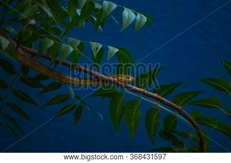 Small Indian Rat Snake On The Neem Tree Branch With Neem Leafs Islaoted Blue Background. .the Snake