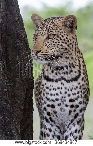 A Leopard (panthera Pardus) In Africa With Soulful Eyes Waits Patiently, Observing His Next Meal