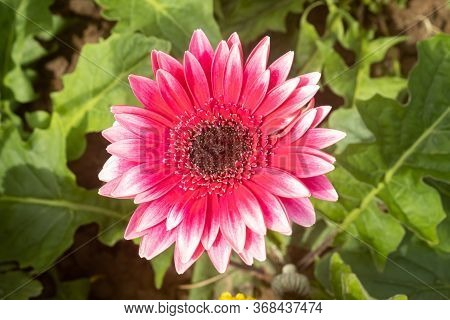 Red Gerbera Daisy Or Gerbera Flower In Garden With Natural Light On Green Leaves Background