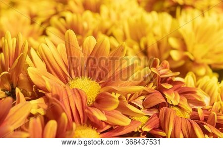 Orange Gerbera Daisy Or Gerbera Flower In Garden With Natural Light In Low Angle View