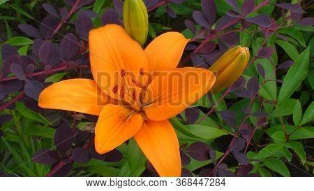 Beautiful Dark Yellow (orange) Flower Of La (longiflorum Asiatic Hybrid) Lily Of Cultivar Indian Dia