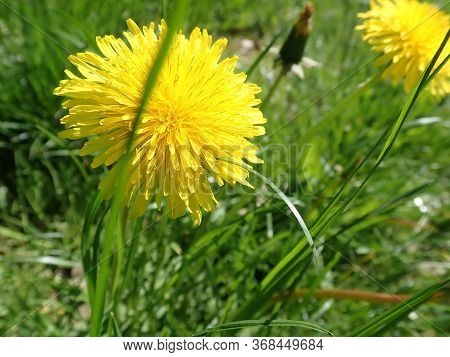 Yellow Dandelion Blooming In The Grass