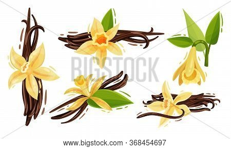 Vanilla Flowers And Pods Or Sticks Isolated On White Background Vector Set