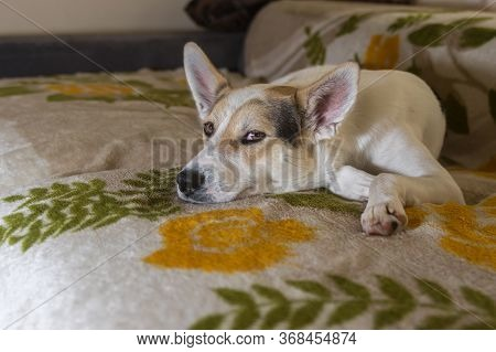 Abandoned Home Alone Sad White Cross-breed Of Hunting And Northern Dog Lying On A Sofa And Waiting F