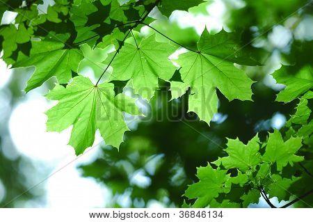 Fresh Maple Leaves