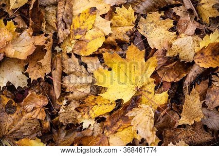 Close Focus On Falling Maple Leaves On Ground Of Parkland In Autumn.