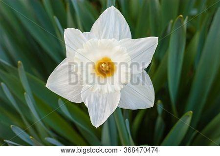 White Daffodil (narcissus)on Green Background. Single Daffodil.