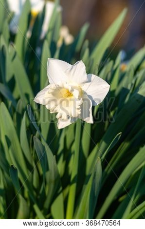 White Daffodil (narcissus)on Green Background. А White Daffodil, Single Daffodil (narcissus)