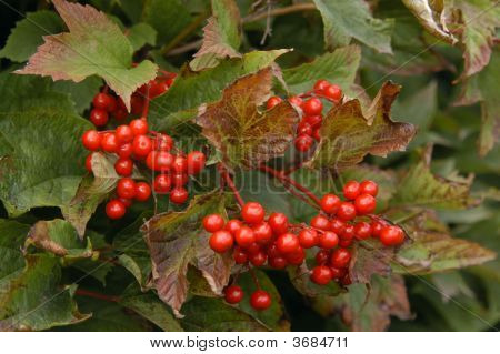Berries On A Bush