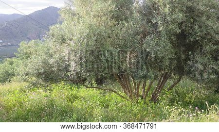 Multiple Stemmed Olive Tree In Andalusian Meadow