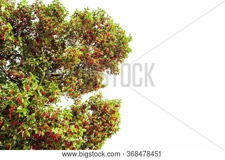 Hairy Keruing Tree Is A Plant With Red Flowers Isolated On White Background And Clipping Path. The N