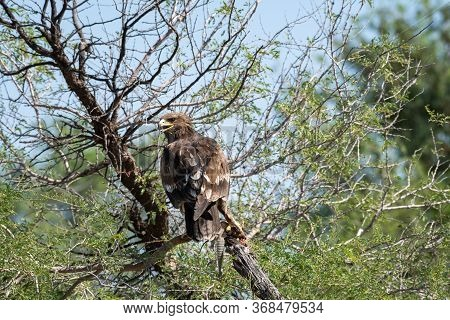 Greater Spotted Eagle Or Spotted Eagle Or Clanga Clanga Portrait With A Spiny Tailed Lizard Kill Sit
