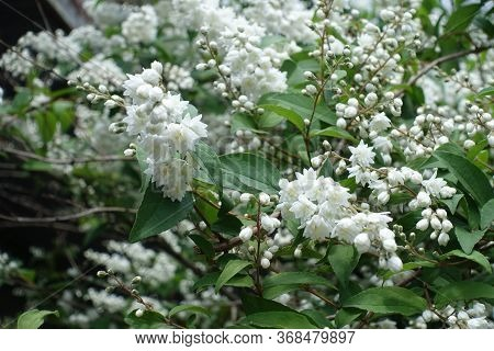 Beginning Of Florescence Of Double Flowered Deutzia In May
